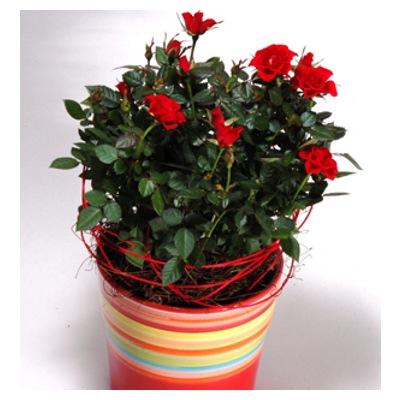 Всё о комнатных растениях! Rosa_mini